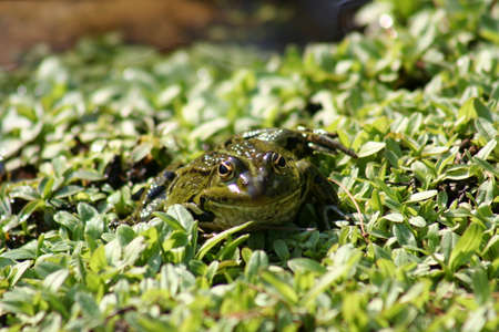 small green frog in a pond Stock Photo