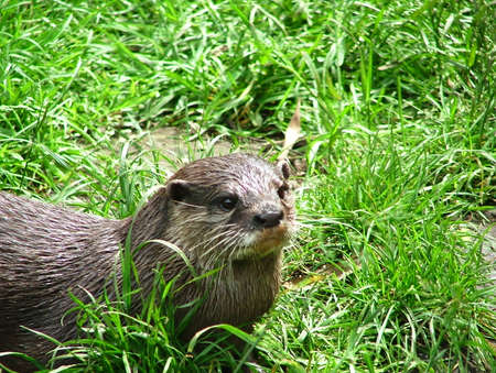 Oriental small-clawed otter in the nature