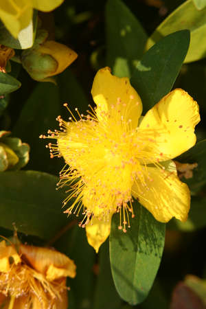 close-up of a yellow Hypericum blossom