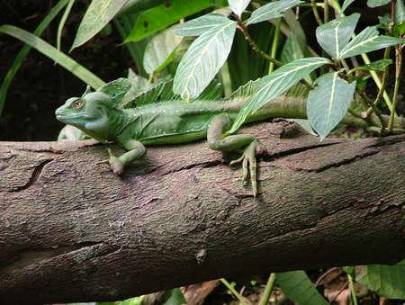 basilisk lizard in the tropical rainforest