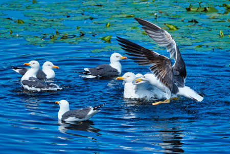 Group ofeuropean herring gull on heligoland - island Dune - cleaning feather in sweet water pond - Larus argentatus Stok Fotoğraf