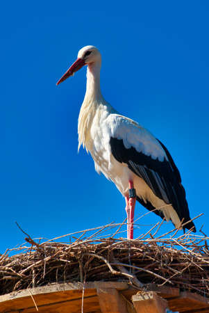 white stork in front of blue sky on nest