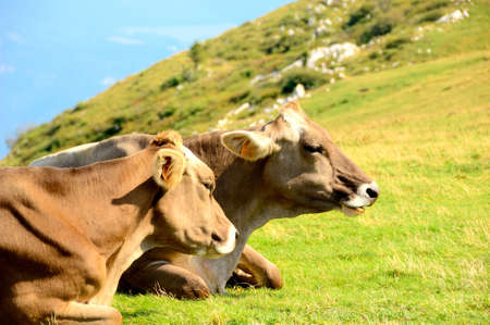 Cows graze in the pasture - On the Farm photo