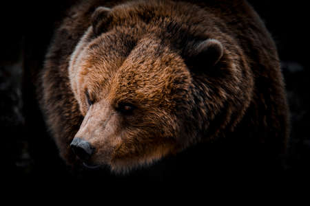 Portrait of massive grizzly bear close-up with brown fur Stock fotó