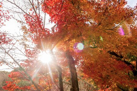 japanese maples: Sunlight flare with red maple leaves , color of  Autumn in Japan.