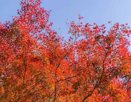 japanese maples: Red Maple leaves, color of  Autumn in Japan. Stock Photo