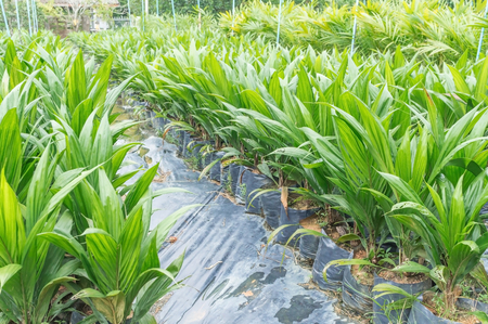 green plants: Oil palm saplings with bifid leaves at oil palm nursery