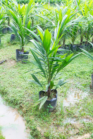 olds: 12 month olds oil palm sapling for  planting Stock Photo
