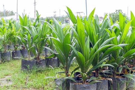 nursery: Árboles jóvenes de palma aceitera con hojas bífidas en vivero de palma de aceite Foto de archivo
