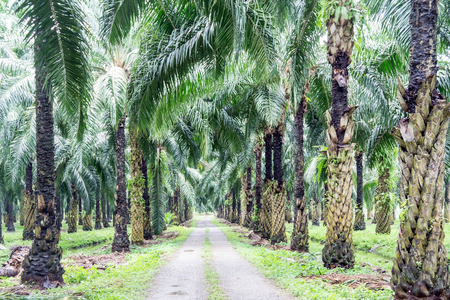 oil palm: Main road in the oil palm plantation Stock Photo