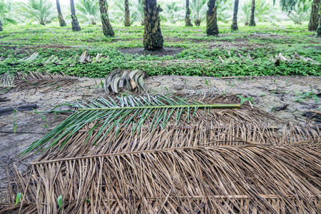 fronds: Stacking of fronds for conserving soil and water  in the oil palm plantation