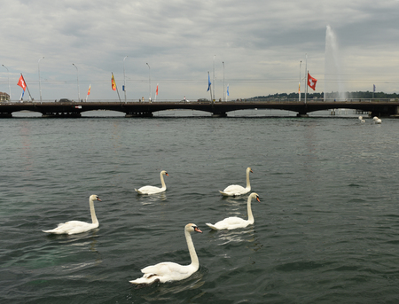 lake district: Swans on Geneva Lake and fountain (Jet dEau) at the background, Geneva, Switzerland Stock Photo