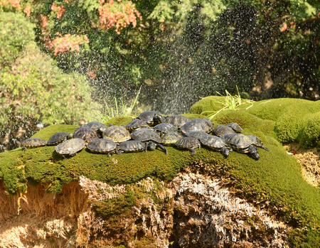 Turtles on the flowerbed at fountain in the city center Sibenik, Croatia.