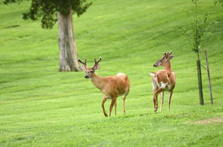 Deer in park one of American city