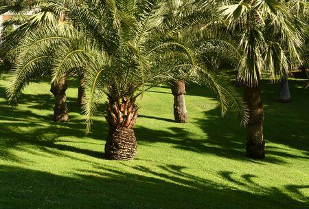 palm trees on a green lawn 版權商用圖片