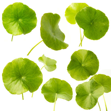 collection green Asiatic Pennywort isolated on white background.