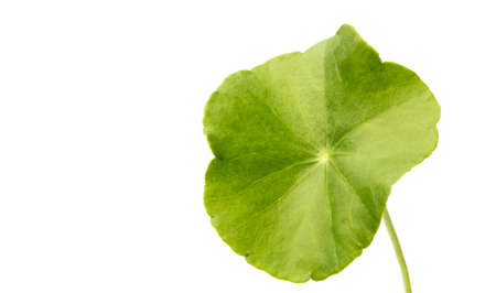 green Asiatic Pennywort isolated on white background. Stock fotó