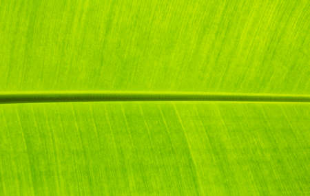 close up banana leaves on background texture.