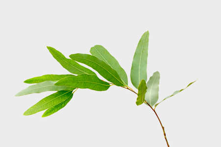 eucalyptus isolated on gray background with clipping path