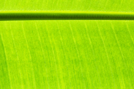 Close up banana leaves on background and texture.
