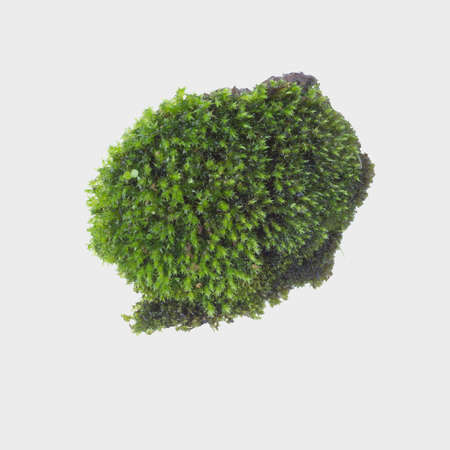 Green moss on gray background, clipping path Stok Fotoğraf