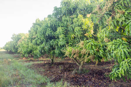mango field of a flowering in tropical country. agricultural concept.