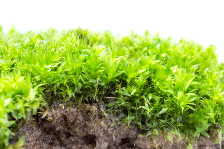 Green moss isolated on white background close up. Imagens
