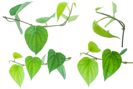 Green betel leaf isolated on the white background with clipping path. Reklamní fotografie