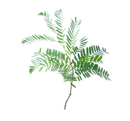 Tamarind leaves isolated on gray background with clipping path. Foto de archivo