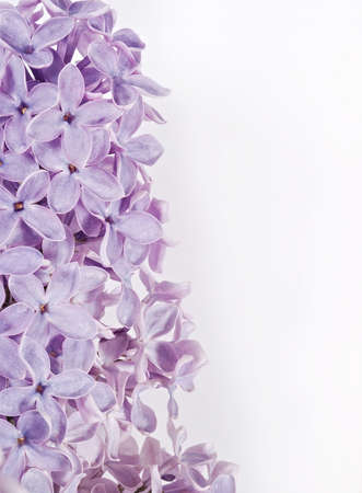 Blooming lilac flowers.  Background macro photo photo