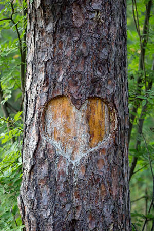 bark carving: heart carved on a tree. forest Stock Photo