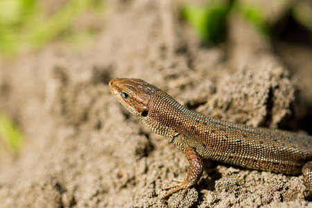 animal viviparous: Macro shot of a tiny lizard in the forest temperate zone