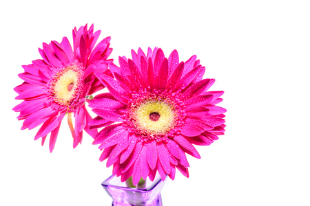 Pink Gerbera or Barberton daisy on white background or isolated