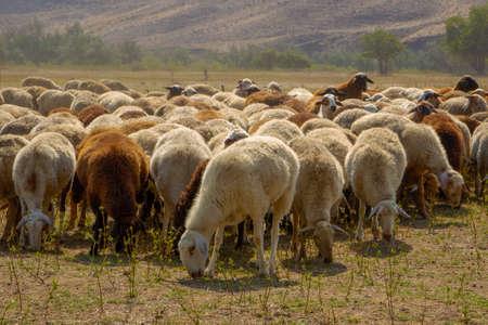 The Sheep on a farm outdoor Stok Fotoğraf