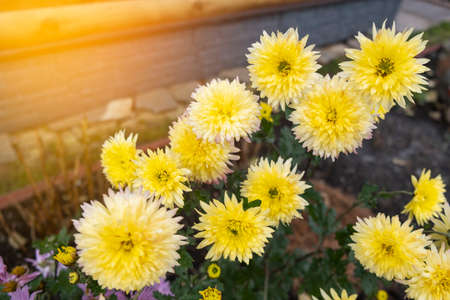 Many yellow chrysanthemum flowers with green leaves. Imagens