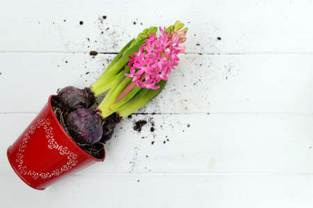 Blooming flowers of pink hyacinth in a red pot with a pattern of hearts lie on a white wooden background. Hyacinth transplant. Place for text.