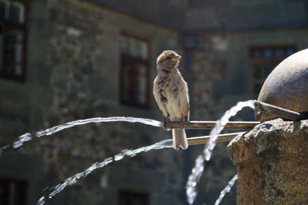 sparrow on a fountain on a gray background photo