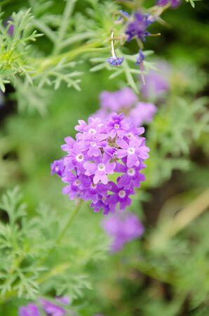 violet flower2 Stock Photo