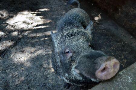 Wildschwein Lizenzfreie Bilder