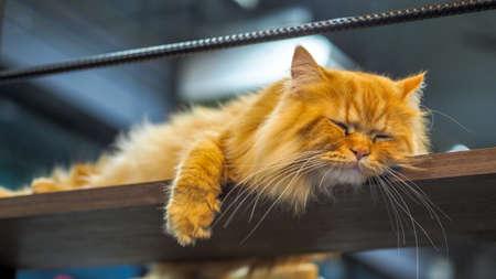 Persian cats sleeping on the mezzanine