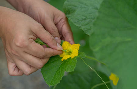melon field: The farmer pollinating melons flower in greenhouse.