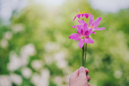 Woman hand holding rain lily flower on green tree in garden background.Concept of nature in spring season.