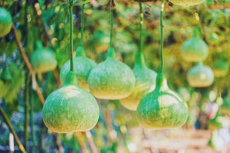 Fruit gourds in an agricultural farm.Food ideas from organic farmer.