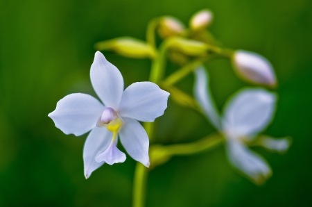 disclose: Ground orchid buatiful flowers Stock Photo