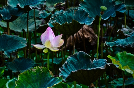 carbuncle: Lotus in the swamp Stock Photo