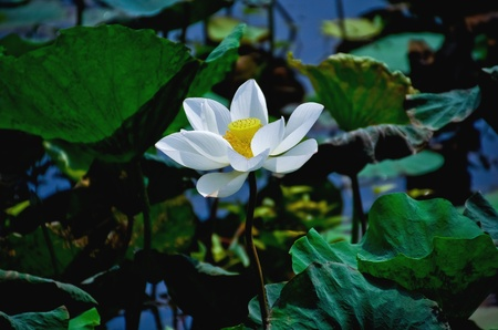carbuncle: White Lotus in the swamp
