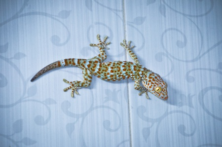 cling: gecko cling on the wall Stock Photo
