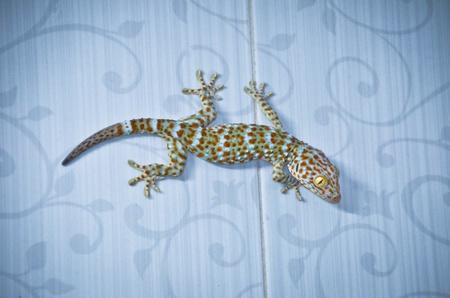 bugaboo: geco aggrapparsi al muro Archivio Fotografico