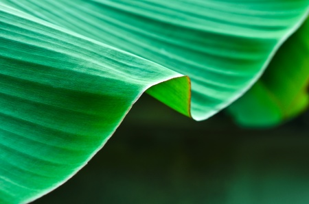 cloesup: banana leaf cloesup abstract background