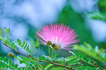 callistemon citrinus: Crimson bottlebrush are flower which have color and leaves are delicate